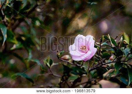 Beautiful Delicate Pink Flower Of The Theaceae Camellia Reticulata X Fratera - La Petite