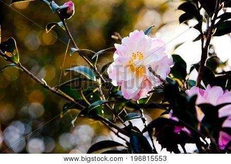 Beautiful Delicate Pink Flower Of The Theaceae Camellia X Vernalis - Star Above Star Common Name