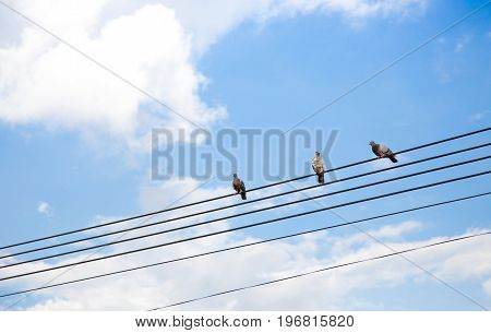 Pigeon Stying On Electrict Line