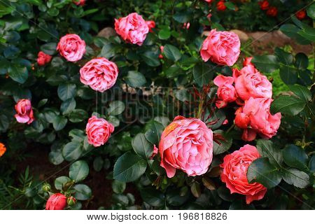 Rose garden. A lot of beautiful pink spray roses. Pink Roses Bushes on the bushes in the garden. Rosebush, rose tree. Landscaping. Caring for garden roses shrubs