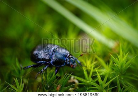 Dung beetle on green moss and grass in forest.