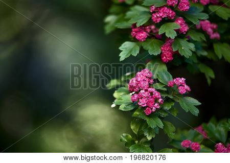A pink flowering tree. Spring, summer background. Juicy pink red flowers on a background of green foliage. Flower pattern.