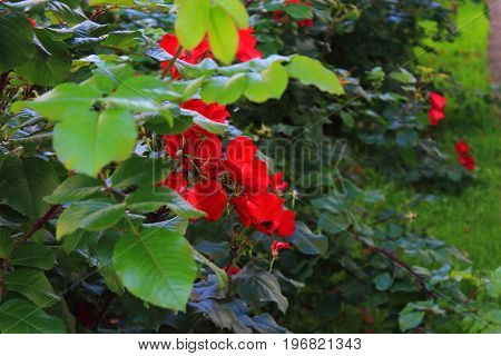 Rose Bush in the garden. Red roses on the bushes. Landscaping. Caring for garden shrubs. Wallpaper for desktop