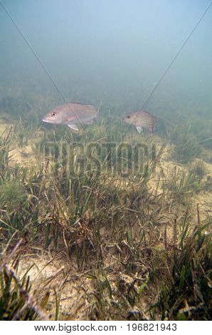 Fish Swimming Over A Grassy Seabed, Color Image, Close Up Image, Underwater Shoot