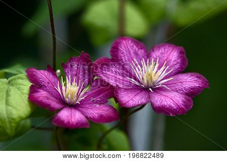violet clematis. Two large clematis flowers on a green background.