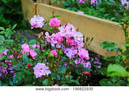 Pink garden flowers. Rose Bush in the garden. Pink and purple roses and buds on the bushes. Landscaping. Caring for garden flowers. Wallpaper for desktop