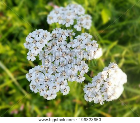 Yarrow Achillea millefolium. Wild plant used in traditional medicine to treat wounds gastritis blood pressure