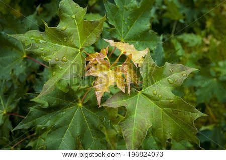 young lieves of maple with a water drops