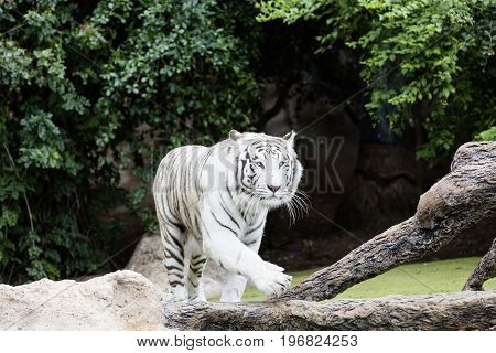 Protected white tiger in the wilderness. Now very rare outside of zoos the endangered big cat is hunted for its highly prized fur.