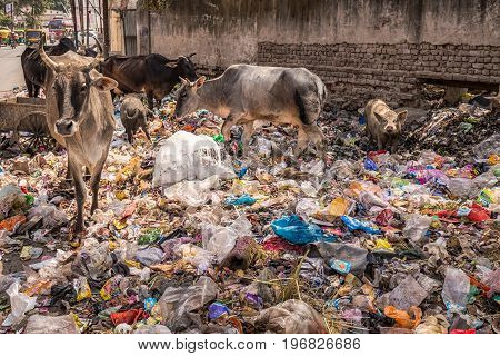 Agra rajasthan india animals eat from the garbage in a dirty neighborhood.