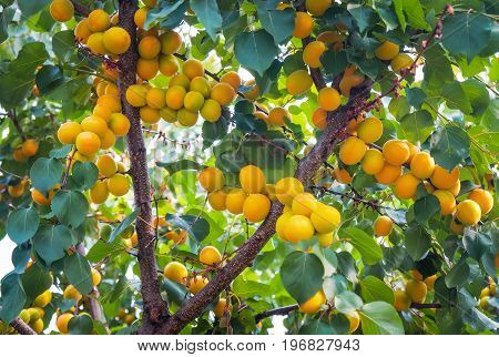 Apricot tree branches with fruits and leaves. Apricots ripen