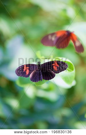 Postman butterflies. Soft painterly nature image of a tropical summer garden butterfly. Pretty background nature image.