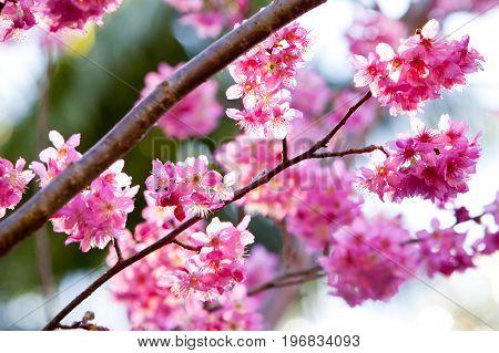 Beautiful Delicate Pink Flowers On Millennium Cherry Tree - Hybrid From The Wild Cherry Prunus Avlum