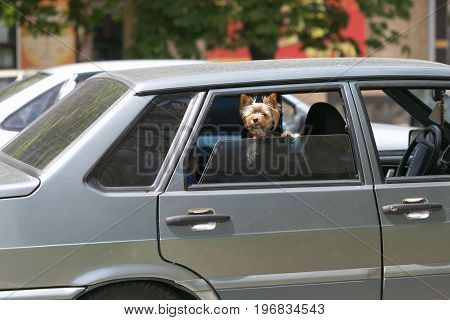 Small waved dog barking at the window of the car