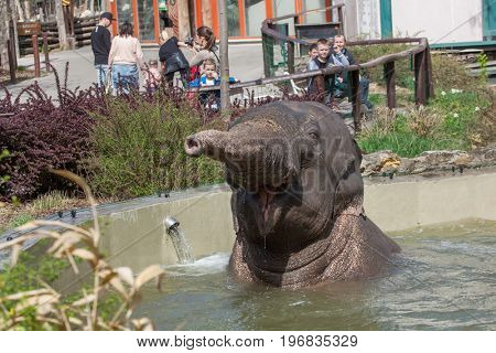 BUDAPEST, HUNGARY - MARCH 30, 2017: Visitors look as the Asian elephants (Elephas maximus) bathing at Budapest Zoo in Budapest, Hungary.