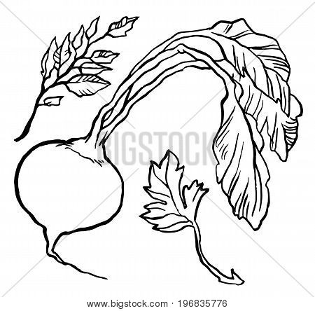 Turnip with leaves - vector illustration hand drawn