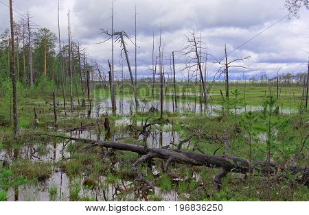 Gloomy dead trees in an impassable swamp in Siberia