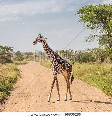 Solitary wild giraffe crossing dirt road in Amboseli national park, Kenya.