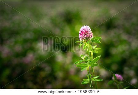 Clover Flower, Trifolium Pratense, Outside In A Field