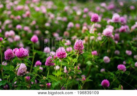 Clover Flowers, Trifolium Pratense, Outside In A Field