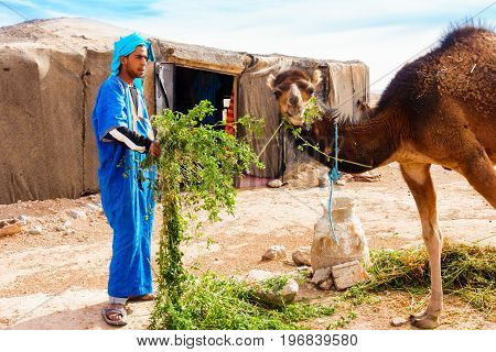 Sahara Morocco - May 10 2017: Berber man dressed in traditional moroccan gandoura and touareg feeds his camel with alfalfa in front of his Berber tent in the moroccan Sahara desert.