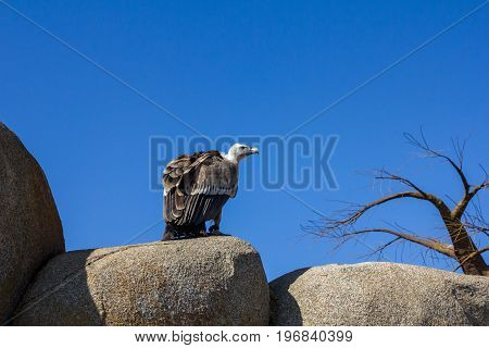 Wildlife animal natural scene. Vulture on rock. Vulture in the rocky habitat with dead tree. Bird Eurasian Griffon Vulture, Gyps fulvus, sitting on the stone, Spain.