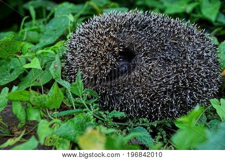 The spiny hedgehog lies among the grass and green vegetation