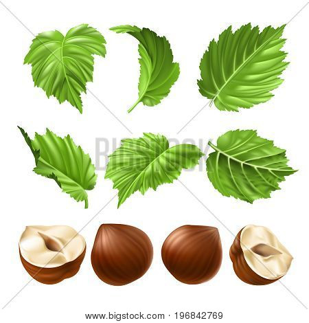 Vector realistic illustration of a hazelnut peeled whole, chopped into halves and green hazel leaves isolated on white. Print, template, design element for packaging