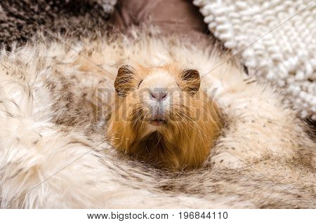 Portrait of cute red guinea pig. Close up.