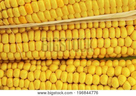 Fresh young sweet corn on cobs, closeup. Freshly picked ears of corn in bunch. Golden corn kernels. Selective focus.