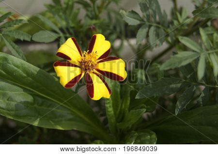 Tagetes patula Harlequin (french marigold Harlequin) on the background of green leaves.