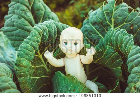 In the cabbage is a doll a child