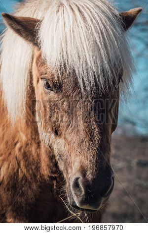 Closeup of an Icelandic Horse mare in chestnut color with white mane