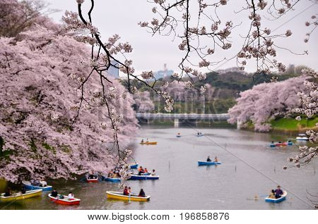 Japanese Hanami ; cherry blossom viewing at a pond