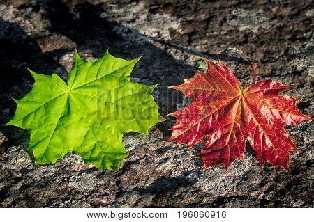 Colorful maple leafs in red and green. Seasonal contrast in colors