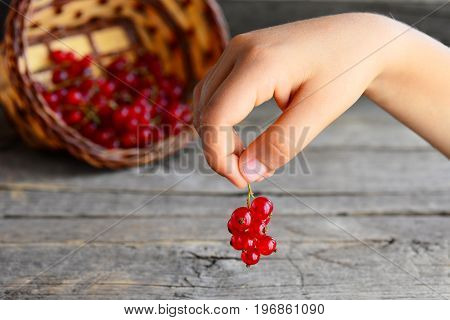 Little child holds a red currant brush in his hands. Fresh red currants in basket. Summer berries harvest background