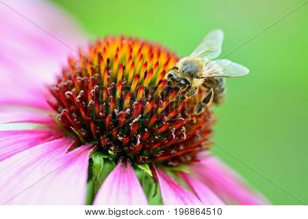 The Bee pollinates a purple flower close up.