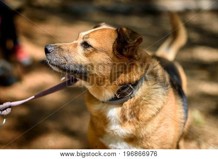 Mongrel dog on a leash in the woods. Active family dog in the nature.