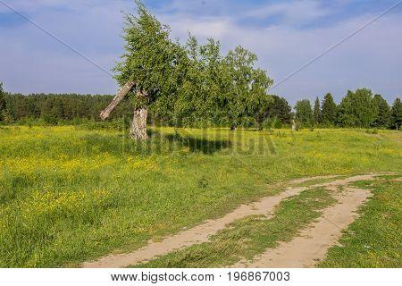 Summer landscape with broken birch in field
