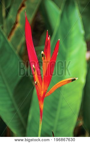 Close-up of tropical colorful flower and banana leaves near Paraty, an amazing and historic town totally preserved in the coast of the Rio de Janeiro State, southwestern Brazil