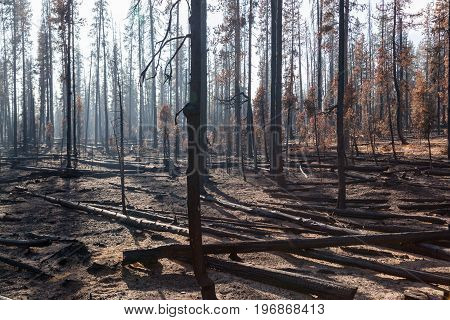Trees Burnt By Forest Fire