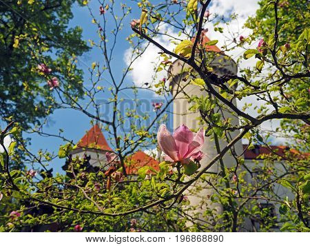 Pink close up magnolia flower forward Czech state castle chateau Konopiste