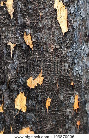 Burnt Pine Tree Surface