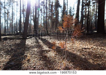 Small Dead Pine Tree