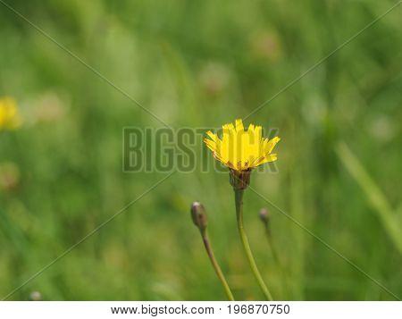Yellow Dandelion Flower Close Up