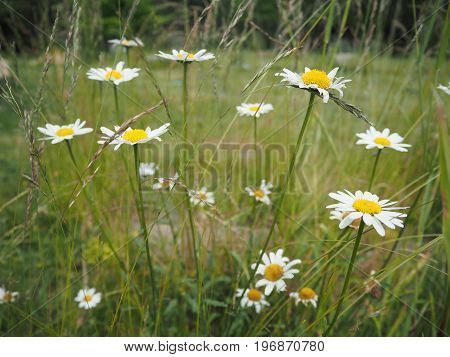 Oxeye Daisy (leucanthemum Vulgare) Flowers In Grass