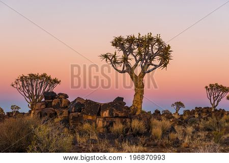 Blue hour transforms into golden hour at dawn at the quiver tree forest at Garas Park Rest Camp near Keetmanshoop on the B1-road to Mariental