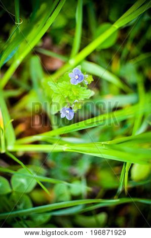 Forget me not, small flowers in the in the garden. Macro photo