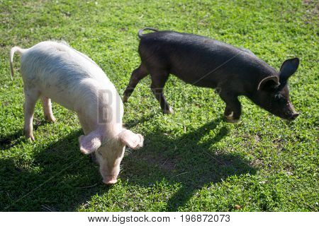Two little pigs on green grass background