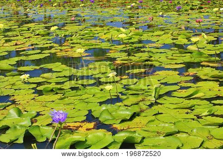 Beautiful scenery of waterlily flowers and leaves in the pond in summer